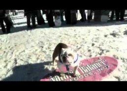Šuo ant banglentės ant snieglentės ir ant riedlentės - neeiliniai šuns gabumai