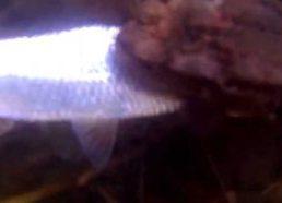 Rupūžė pagauna žuvį