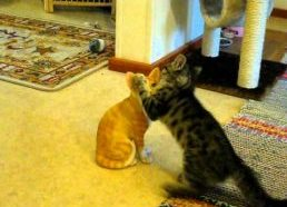 Katinukas bando žaisti su moliniu kačiuku