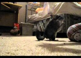 More chinchilla tricks.