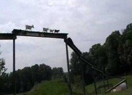 Ožkų tiltas