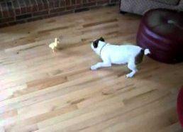 Ančiukas prieš Šunį