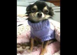 Besišypsantis Chihuahua veislės šuniukas