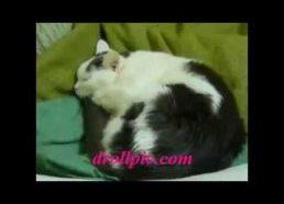 Katinas dainuoja akomponuojant akordionui