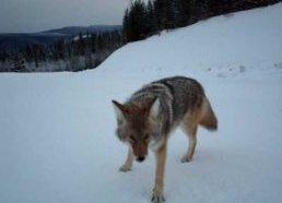 Kojotas Bando Užpulti Filmuotoją