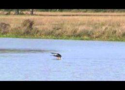 Erelis kuris nusprendžia paplaukioti dėl savo grobio