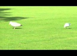 Dancing seaguls