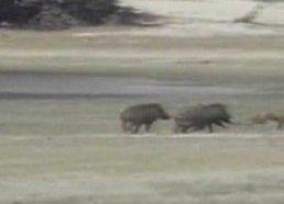 Laukinės kiaulės nukautuoja leopardą
