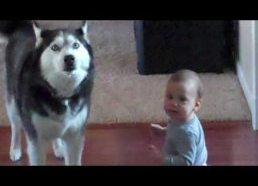 Image of: Www Husky Sings With Baby Pinterest Shortlt Short Funny And Good Videos
