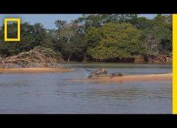 Jaguaras užpuola kokodilą(!)