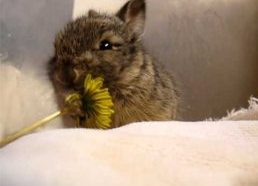 Baby bunny eats a tiny flower, washes its face