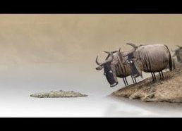 Pora bulių bando pereiti upę